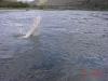 Snake River Sturgeon jump